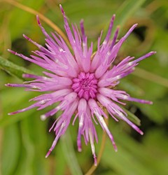 common knapweed 2.jpg