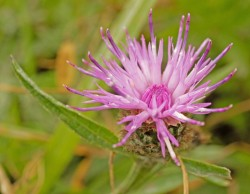 common knapweed 3.jpg