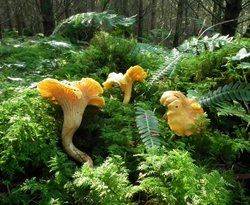 Cantharellus sp