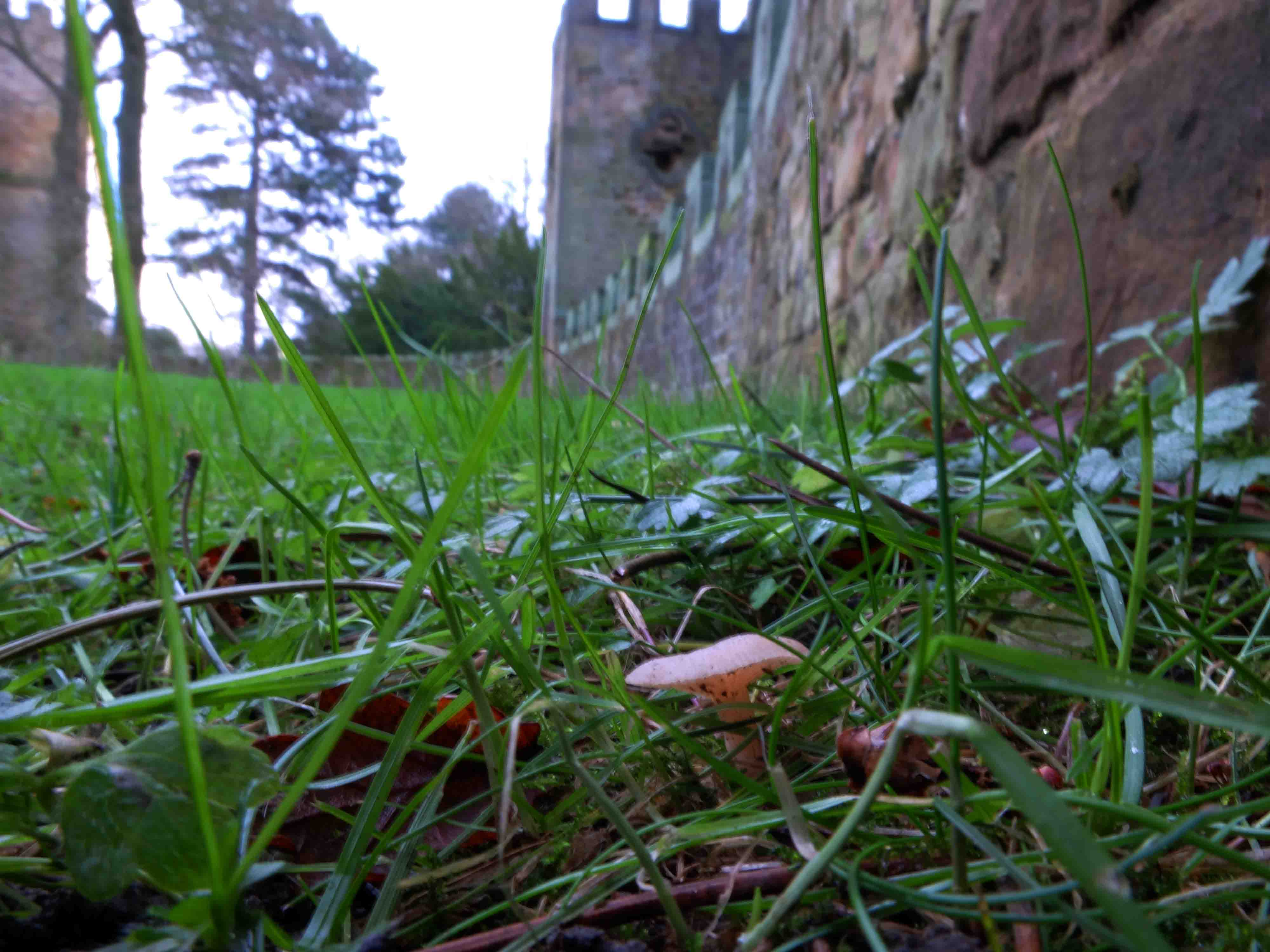 Fungi at Stainborough Castle - Clitocybe fragrans.JPG