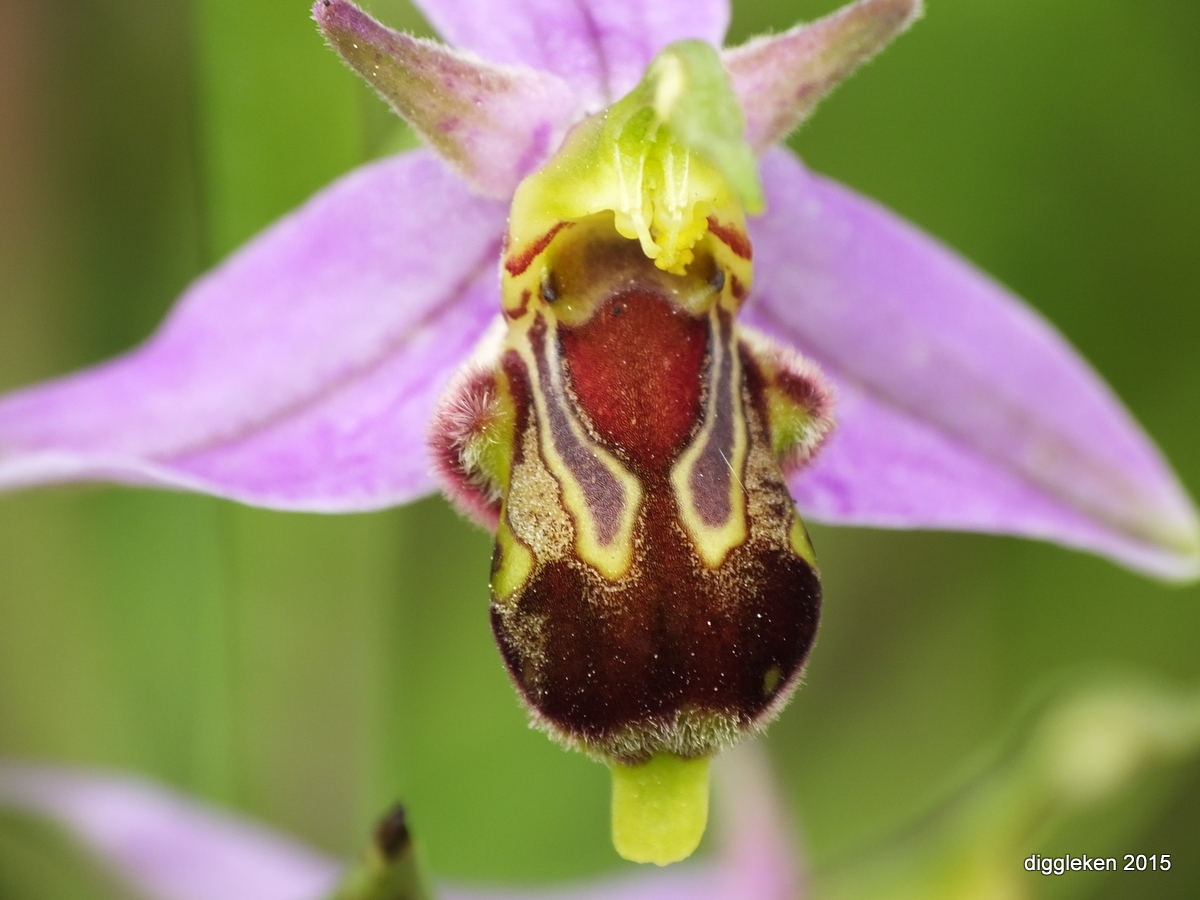 Bee Orchid - Ophrys apifera closeup.JPG