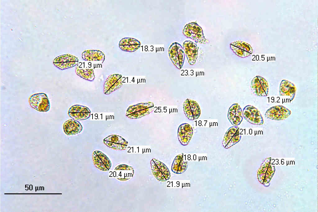 Spores x400 (In Water) Measured1.jpg