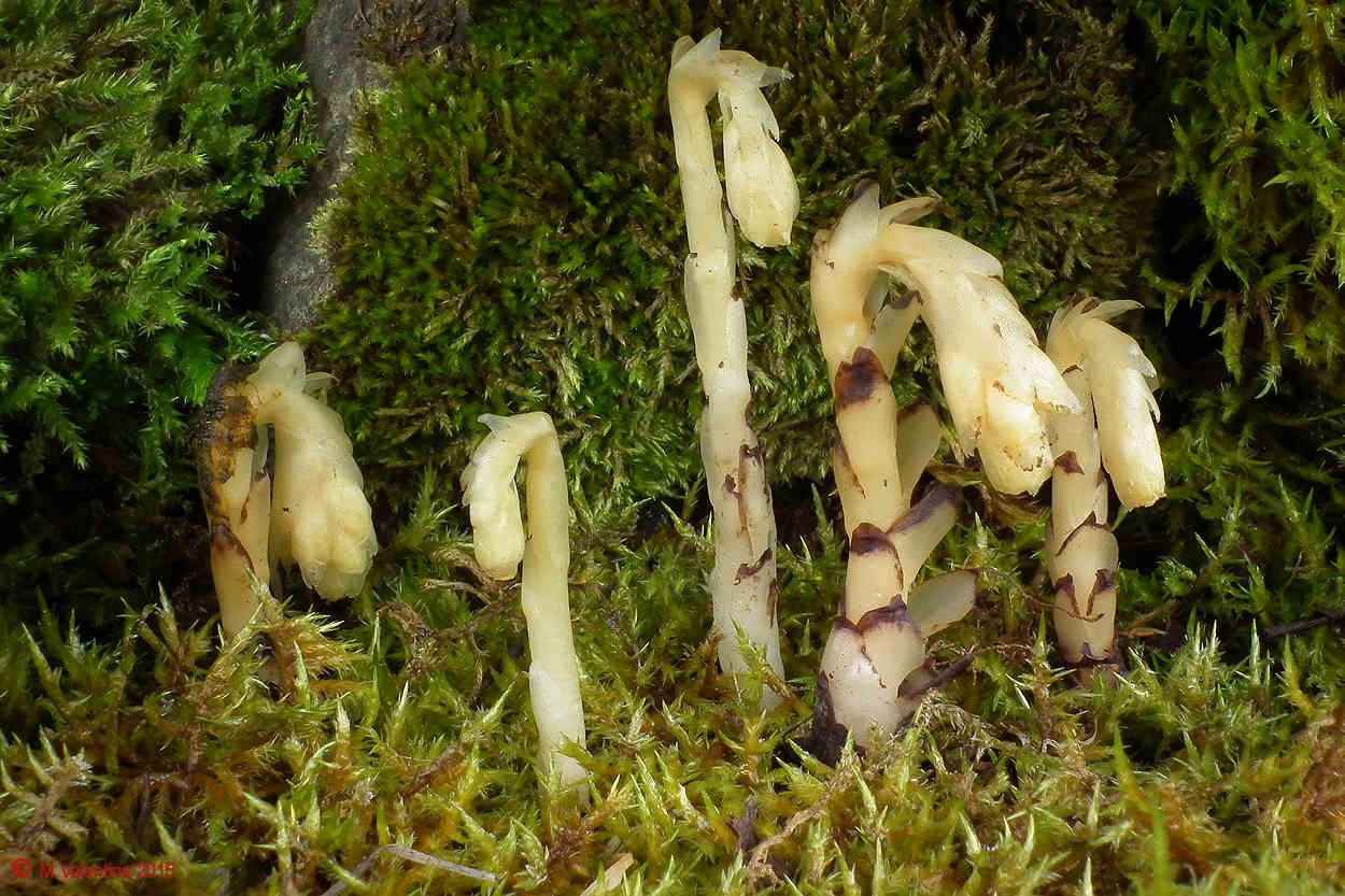 Monotropa hypopitys - Yellow Bird's-nest.jpg