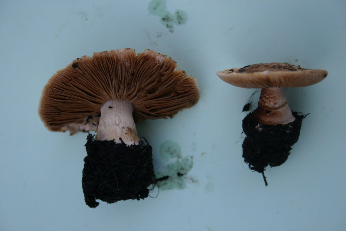 Conocybe intrusa 005a.JPG