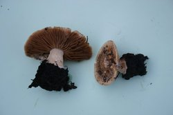 Conocybe intrusa 001a.JPG